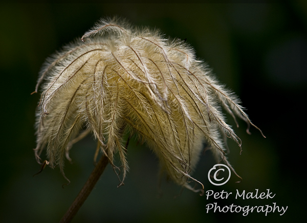 The soft fuzzy fronds of the seed pod gently swaying on a single stem.