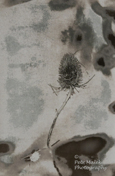 A teasle flower against a mottled papery background.