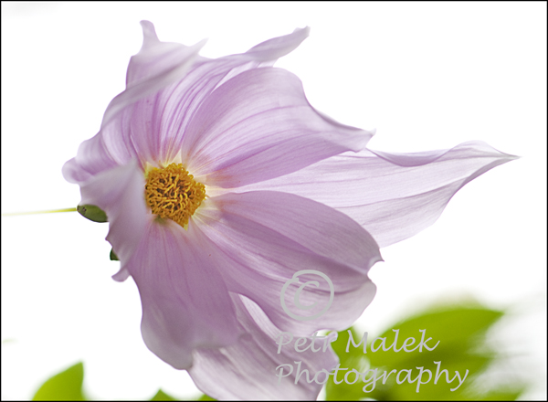 Pink flower of the tree dahlia against a near white background with the flower appearing to flow like a ladies dresses in the wind.