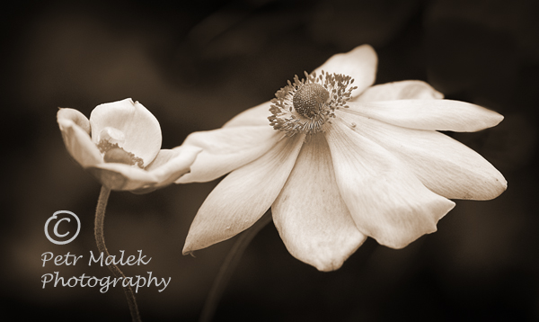 Wind Flower printed in soft Sepia Tones.