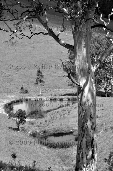 Black and white photograph of a Gum Tree and two billabongs near Patterson New South wales.