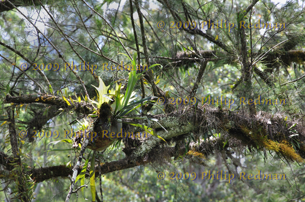 Parasitic plants hanging in the rainforest near Dungog New South Wales.