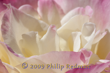 Soft delicate pink and white petals of an open Double Delight Rose with a single sharp point on a curled centre.