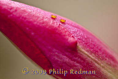A closed deep pink Brazilian Jasmine flower bud with two orange aphids out for a walk.