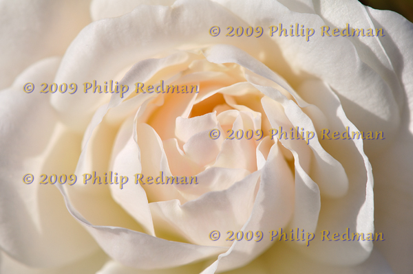 A soft creamy view of an Iceburg Rose opening to early morning light.