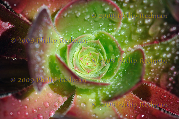 Close up view of an Aeonium Swartzkof central throat covered in bubbles of rain.