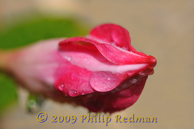 3/4 view of an opening deep pink Brazilian Jasmine flower bud speckled with rain drops.