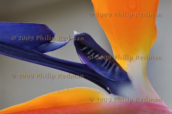 Close up of a bird of paradise flower showing the beautiful contrasts of orange red and blue.