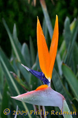 Bird of paradise flower with its ears sitting up in a filed of leaves looking almost like an orange eared rabbit.