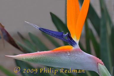 A bird of paradise flower showing the head pointing and proud with raindrops glistening accross the face and one drop almost like a tear.