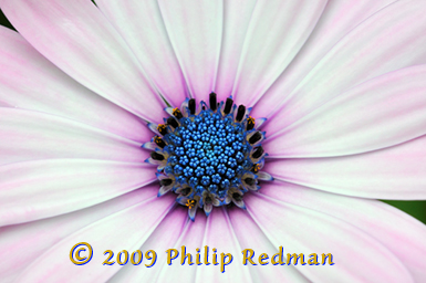 The throat of a small daisy showing the vibrant blue of the centre against the pink tinged petals.