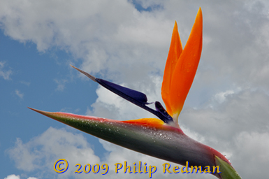 Full head shot of the bird of paradise flower against the rainclouds opening up to blue sky after a rain shower.