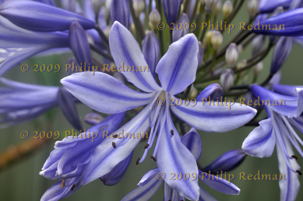 A central opened blue Agapanthus against a background of blue violet and cream buds and flowers.