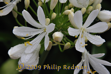 White Agapanthus flowers covered in raindrops with unopend cream buds in the background reaching forward.