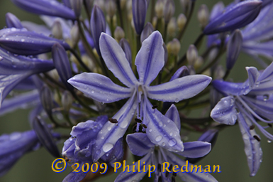 A central opened blue Agapanthus against a background of blue violet and cream buds and flowers showered with raindrops.