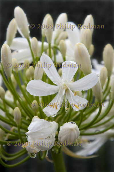 White Agapanthus covered in raindrops with masses of buds reaching out in the background.