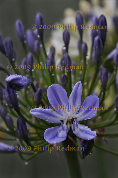 A single open blue Agapanthus surrounded by masses of blue and grren buds.