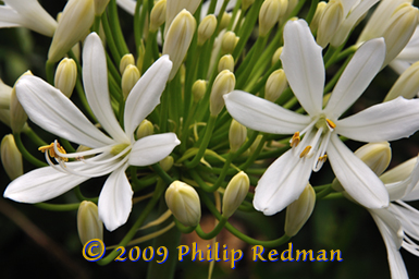 White Agapanthus flowers with unopend cream buds in the background reaching up to the sunlight.